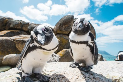 Two_penguins_looking_into_camera_boulders_craig_howes-1024x683